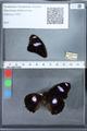 http://mczbase.mcz.harvard.edu/specimen_images/ent-lepidoptera/images/2010_03_01/IMG_033786.JPG