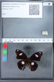 http://mczbase.mcz.harvard.edu/specimen_images/ent-lepidoptera/images/2010_03_01/IMG_033787.JPG
