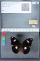 http://mczbase.mcz.harvard.edu/specimen_images/ent-lepidoptera/images/2010_03_01/IMG_033788.JPG