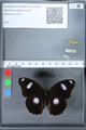 http://mczbase.mcz.harvard.edu/specimen_images/ent-lepidoptera/images/2010_03_01/IMG_033789.JPG