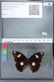 http://mczbase.mcz.harvard.edu/specimen_images/ent-lepidoptera/images/2010_03_02/IMG_033791.JPG