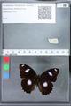 http://mczbase.mcz.harvard.edu/specimen_images/ent-lepidoptera/images/2010_03_02/IMG_033792.JPG