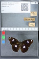 http://mczbase.mcz.harvard.edu/specimen_images/ent-lepidoptera/images/2010_03_02/IMG_033793.JPG