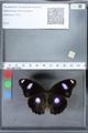 http://mczbase.mcz.harvard.edu/specimen_images/ent-lepidoptera/images/2010_03_02/IMG_033794.JPG