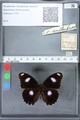 http://mczbase.mcz.harvard.edu/specimen_images/ent-lepidoptera/images/2010_03_02/IMG_033795.JPG