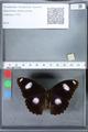 http://mczbase.mcz.harvard.edu/specimen_images/ent-lepidoptera/images/2010_03_02/IMG_033797.JPG