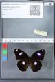 http://mczbase.mcz.harvard.edu/specimen_images/ent-lepidoptera/images/2010_03_02/IMG_033798.JPG