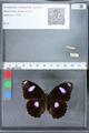 http://mczbase.mcz.harvard.edu/specimen_images/ent-lepidoptera/images/2010_03_02/IMG_033799.JPG