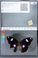 http://mczbase.mcz.harvard.edu/specimen_images/ent-lepidoptera/images/2010_03_02/IMG_033800.JPG