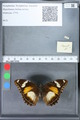 http://mczbase.mcz.harvard.edu/specimen_images/ent-lepidoptera/images/2010_03_02/IMG_033802.JPG