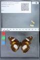 http://mczbase.mcz.harvard.edu/specimen_images/ent-lepidoptera/images/2010_03_02/IMG_033803.JPG