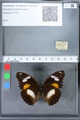 http://mczbase.mcz.harvard.edu/specimen_images/ent-lepidoptera/images/2010_03_02/IMG_033804.JPG