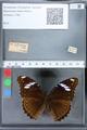 http://mczbase.mcz.harvard.edu/specimen_images/ent-lepidoptera/images/2010_03_02/IMG_033814.JPG