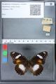 http://mczbase.mcz.harvard.edu/specimen_images/ent-lepidoptera/images/2010_03_02/IMG_033817.JPG