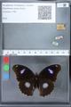 http://mczbase.mcz.harvard.edu/specimen_images/ent-lepidoptera/images/2010_03_02/IMG_033818.JPG