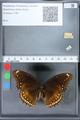 http://mczbase.mcz.harvard.edu/specimen_images/ent-lepidoptera/images/2010_03_02/IMG_033819.JPG