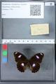 http://mczbase.mcz.harvard.edu/specimen_images/ent-lepidoptera/images/2010_03_02/IMG_033820.JPG
