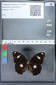 http://mczbase.mcz.harvard.edu/specimen_images/ent-lepidoptera/images/2010_03_02/IMG_033821.JPG