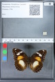 http://mczbase.mcz.harvard.edu/specimen_images/ent-lepidoptera/images/2010_03_02/IMG_033822.JPG