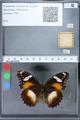 http://mczbase.mcz.harvard.edu/specimen_images/ent-lepidoptera/images/2010_03_02/IMG_033823.JPG