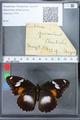 http://mczbase.mcz.harvard.edu/specimen_images/ent-lepidoptera/images/2010_03_02/IMG_033824.JPG