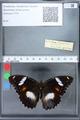 http://mczbase.mcz.harvard.edu/specimen_images/ent-lepidoptera/images/2010_03_02/IMG_033825.JPG