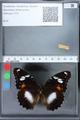 http://mczbase.mcz.harvard.edu/specimen_images/ent-lepidoptera/images/2010_03_02/IMG_033826.JPG
