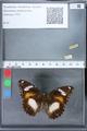 http://mczbase.mcz.harvard.edu/specimen_images/ent-lepidoptera/images/2010_03_02/IMG_033827.JPG