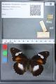http://mczbase.mcz.harvard.edu/specimen_images/ent-lepidoptera/images/2010_03_02/IMG_033828.JPG