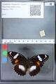 http://mczbase.mcz.harvard.edu/specimen_images/ent-lepidoptera/images/2010_03_02/IMG_033829.JPG