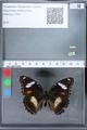 http://mczbase.mcz.harvard.edu/specimen_images/ent-lepidoptera/images/2010_03_02/IMG_033830.JPG