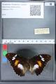 http://mczbase.mcz.harvard.edu/specimen_images/ent-lepidoptera/images/2010_03_02/IMG_033831.JPG