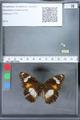 http://mczbase.mcz.harvard.edu/specimen_images/ent-lepidoptera/images/2010_03_02/IMG_033832.JPG
