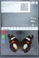 http://mczbase.mcz.harvard.edu/specimen_images/ent-lepidoptera/images/2010_03_02/IMG_033833.JPG