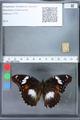 http://mczbase.mcz.harvard.edu/specimen_images/ent-lepidoptera/images/2010_03_02/IMG_033835.JPG