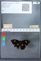 http://mczbase.mcz.harvard.edu/specimen_images/ent-lepidoptera/images/2010_03_02/IMG_034265.JPG