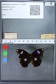 http://mczbase.mcz.harvard.edu/specimen_images/ent-lepidoptera/images/2010_03_02/IMG_034268.JPG