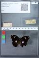 http://mczbase.mcz.harvard.edu/specimen_images/ent-lepidoptera/images/2010_03_02/IMG_034270.JPG