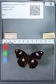 http://mczbase.mcz.harvard.edu/specimen_images/ent-lepidoptera/images/2010_03_02/IMG_034271.JPG
