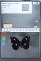 http://mczbase.mcz.harvard.edu/specimen_images/ent-lepidoptera/images/2010_03_02/IMG_034272.JPG
