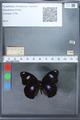http://mczbase.mcz.harvard.edu/specimen_images/ent-lepidoptera/images/2010_03_02/IMG_034273.JPG