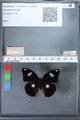 http://mczbase.mcz.harvard.edu/specimen_images/ent-lepidoptera/images/2010_03_02/IMG_034274.JPG