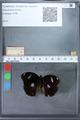 http://mczbase.mcz.harvard.edu/specimen_images/ent-lepidoptera/images/2010_03_02/IMG_034275.JPG