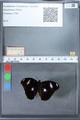 http://mczbase.mcz.harvard.edu/specimen_images/ent-lepidoptera/images/2010_03_02/IMG_034276.JPG
