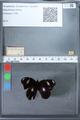 http://mczbase.mcz.harvard.edu/specimen_images/ent-lepidoptera/images/2010_03_02/IMG_034277.JPG