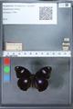 http://mczbase.mcz.harvard.edu/specimen_images/ent-lepidoptera/images/2010_03_02/IMG_034279.JPG