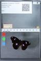 http://mczbase.mcz.harvard.edu/specimen_images/ent-lepidoptera/images/2010_03_02/IMG_034280.JPG