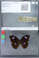 http://mczbase.mcz.harvard.edu/specimen_images/ent-lepidoptera/images/2010_03_05/IMG_034781.JPG