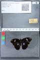 http://mczbase.mcz.harvard.edu/specimen_images/ent-lepidoptera/images/2010_03_05/IMG_034782.JPG