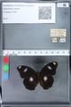 http://mczbase.mcz.harvard.edu/specimen_images/ent-lepidoptera/images/2010_03_05/IMG_034786.JPG